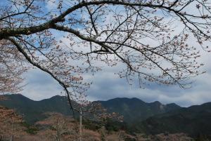 談山神社 駐車場の桜